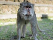 Πίθηκος Macaque στο Μπαλί Στοκ Φωτογραφία