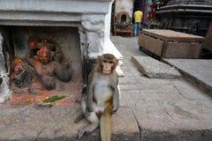Πίθηκος Macaque, στο ναό Swayambhunath. Κατμαντού, Νεπάλ Στοκ Εικόνες