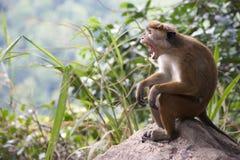 Πίθηκος Macaque τοκών Στοκ φωτογραφία με δικαίωμα ελεύθερης χρήσης
