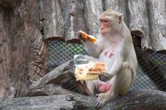 Πίθηκος Macaque του ρήσου μακάκου Στοκ Εικόνα