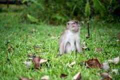 Πίθηκος Macaque Στοκ εικόνα με δικαίωμα ελεύθερης χρήσης