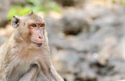 Πίθηκος Macaque Στοκ Εικόνες