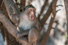 Πίθηκος Macaque Στοκ Φωτογραφία
