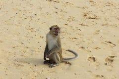 Πίθηκος Macaque, Krabi, Ταϊλάνδη Στοκ Εικόνες