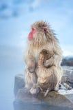 Πίθηκος Macaque Onsen χιονιού Στοκ Εικόνες