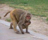Πίθηκος Macaques του ρήσου μακάκου της Ινδίας στοκ φωτογραφίες με δικαίωμα ελεύθερης χρήσης