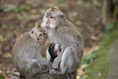 Πίθηκος Makak στο ναό του Μπαλί, Ινδονησία Στοκ Φωτογραφίες