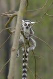 πίθηκος maki στοκ εικόνες με δικαίωμα ελεύθερης χρήσης