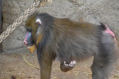 Πίθηκος Mandrill στο ζωολογικό κήπο Άμστερνταμ Artis οι Κάτω Χώρες Στοκ Εικόνες
