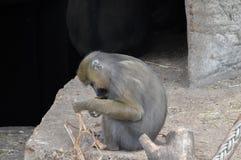 Πίθηκος Mandrill στο ζωολογικό κήπο Άμστερνταμ Artis οι Κάτω Χώρες Στοκ εικόνες με δικαίωμα ελεύθερης χρήσης