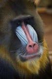Πίθηκος Mandrill στοκ εικόνες