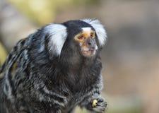 Πίθηκος Marmoset στοκ εικόνα με δικαίωμα ελεύθερης χρήσης