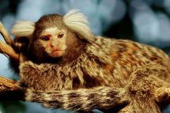 Πίθηκος Marmoset στοκ φωτογραφία