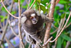 Πίθηκος Marmoset Στοκ φωτογραφία με δικαίωμα ελεύθερης χρήσης