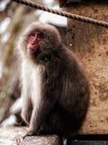 Πίθηκος Onsen στοκ φωτογραφία με δικαίωμα ελεύθερης χρήσης