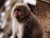 Πίθηκος Onsen στοκ φωτογραφία