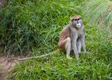 Πίθηκος Patas στη χλόη Στοκ εικόνες με δικαίωμα ελεύθερης χρήσης