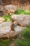 Πίθηκος Patas Στοκ εικόνες με δικαίωμα ελεύθερης χρήσης
