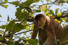 Πίθηκος Proboscis, εθνικό πάρκο Baco, Μπόρνεο, Μαλαισία Στοκ Εικόνες