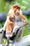 Πίθηκος Proboscis μητέρων με το μωρό, Kinabatangan, Sabah, Μαλαισία Στοκ Εικόνες