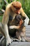 Πίθηκος Proboscis μητέρων Στοκ Εικόνες