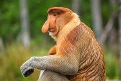 Πίθηκος & x28 Proboscis Ρινικό larvatus& x29  ενδημικός του Μπόρνεο στοκ φωτογραφίες