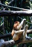 Πίθηκος Proboscis Στοκ Φωτογραφίες