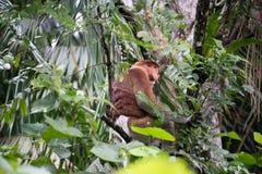 Πίθηκος Proboscis Στοκ Φωτογραφία