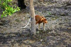 Πίθηκος Proboscis Στοκ φωτογραφίες με δικαίωμα ελεύθερης χρήσης
