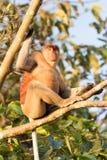 Πίθηκος Proboscis Στοκ εικόνα με δικαίωμα ελεύθερης χρήσης
