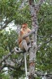 Πίθηκος Proboscis, Kinabatangan, Sabah, Μαλαισία Στοκ Εικόνες