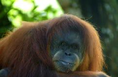 Πίθηκος Proboscis, Kinabatangan, Sabah Στοκ φωτογραφίες με δικαίωμα ελεύθερης χρήσης
