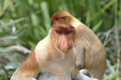 Πίθηκος Proboscis, Kinabatangan, Sabah Στοκ Φωτογραφία