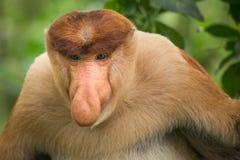 Πίθηκος Proboscis - Sandakan, Μπόρνεο, Μαλαισία Στοκ Φωτογραφίες