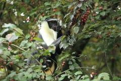 Πίθηκος Roloway Στοκ φωτογραφία με δικαίωμα ελεύθερης χρήσης