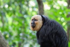 Πίθηκος Saki στοκ εικόνα