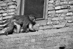 Πίθηκος, stupa Buddanath, Νεπάλ Στοκ φωτογραφία με δικαίωμα ελεύθερης χρήσης