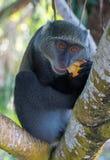 Πίθηκος Sykes Στοκ Φωτογραφίες