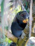 Πίθηκος Sykes Στοκ εικόνες με δικαίωμα ελεύθερης χρήσης