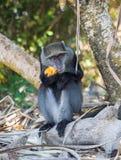 Πίθηκος Sykes Στοκ Φωτογραφία