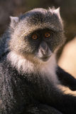Πίθηκος Sykes Στοκ Εικόνες