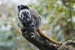Πίθηκος Tamarin αυτοκρατόρων εξετάζοντας σας Στοκ φωτογραφία με δικαίωμα ελεύθερης χρήσης