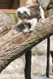Πίθηκος Tamarin αυτοκρατόρων εξετάζοντας σας Στοκ φωτογραφίες με δικαίωμα ελεύθερης χρήσης