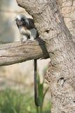 Πίθηκος Tamarin αυτοκρατόρων εξετάζοντας σας Στοκ εικόνες με δικαίωμα ελεύθερης χρήσης