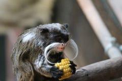 Πίθηκος Tamarin αυτοκρατόρων στο άσπρο mustache κλάδων Στοκ Εικόνες
