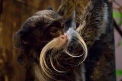 Πίθηκος Tamarin αυτοκρατόρων στο περιβάλλον ζουγκλών Imperator Saguinus Στοκ Φωτογραφίες
