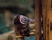 Πίθηκος Tamarin αυτοκρατόρων στο περιβάλλον ζουγκλών Imperator Saguinus Στοκ Φωτογραφία