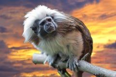 Πίθηκος Tamarin αυτοκρατόρων στο υπόβαθρο ηλιοβασιλέματος Στοκ φωτογραφίες με δικαίωμα ελεύθερης χρήσης