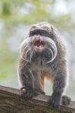 Πίθηκος Tamarin αυτοκρατόρων Στοκ Φωτογραφία