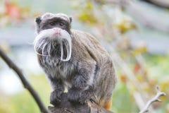 Πίθηκος Tamarin αυτοκρατόρων Στοκ Εικόνες